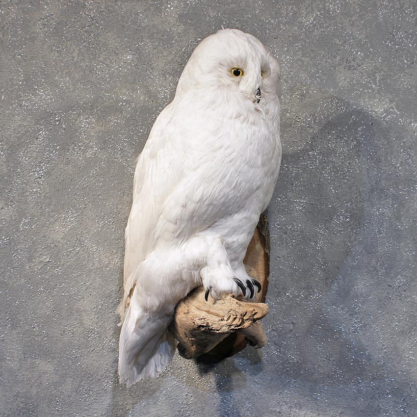 Reproduction Snow Owl Mount 11883 The Taxidermy Store