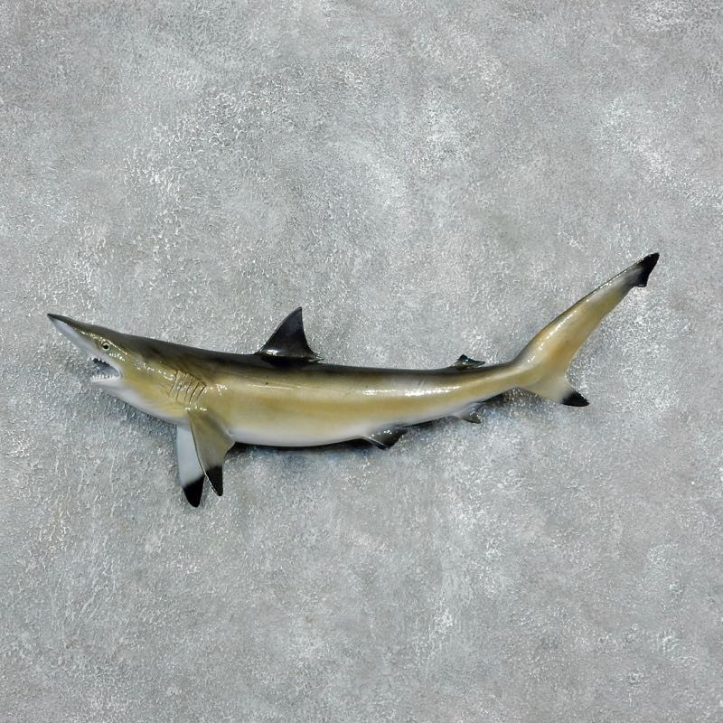 Blacktip Reef Shark Reproduction Mount For Sale #17948 - The