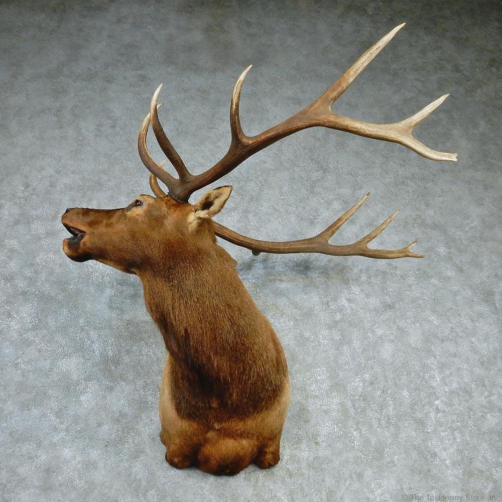 Rocky Mountain Elk Head Taxidermy Shoulder Mount For Sale