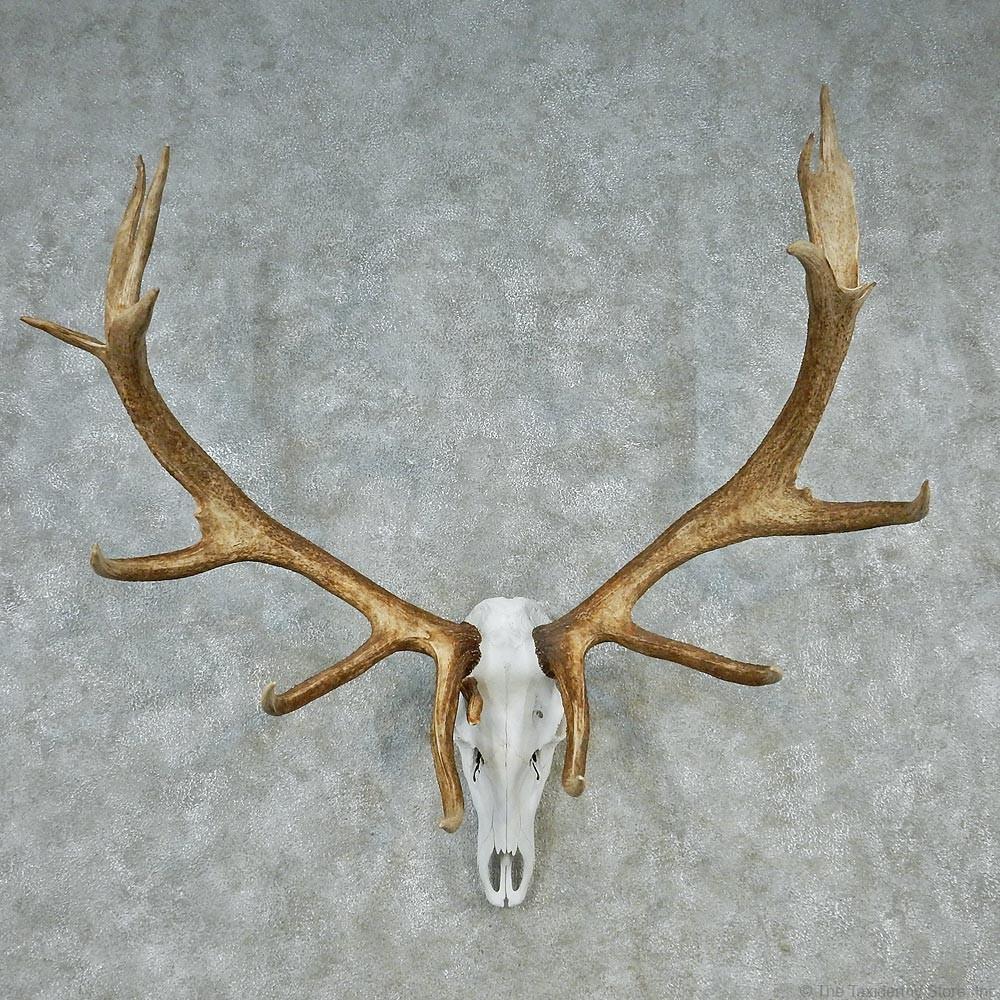 Mountain elk skull amp antler european mount elk european mount plaque