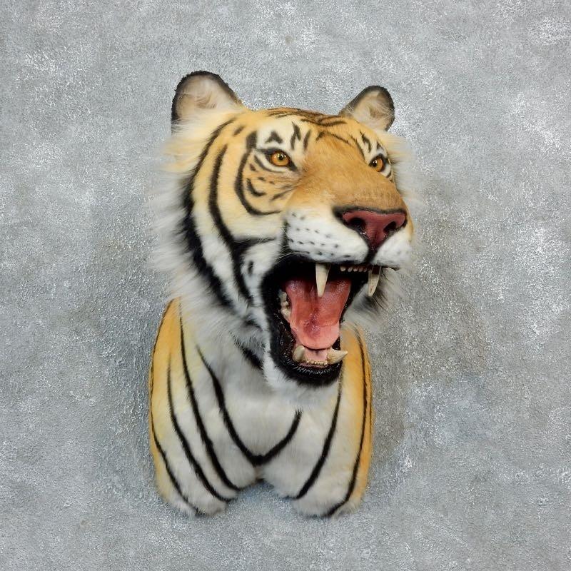 Taxidermy Tiger Rug For Sale: Reproduction Siberian Tiger Shoulder Mount #18292
