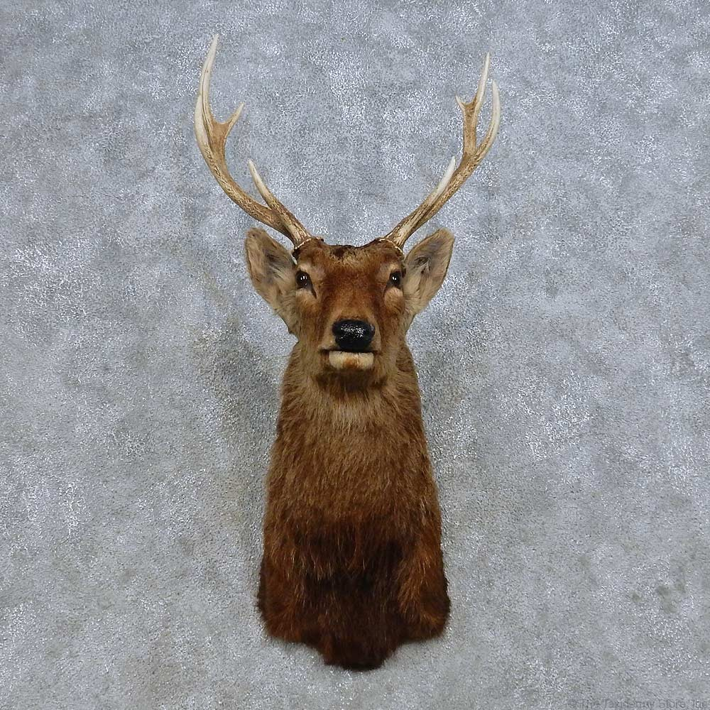 Sika Deer Shoulder Mount For Sale 14668 The Taxidermy Store