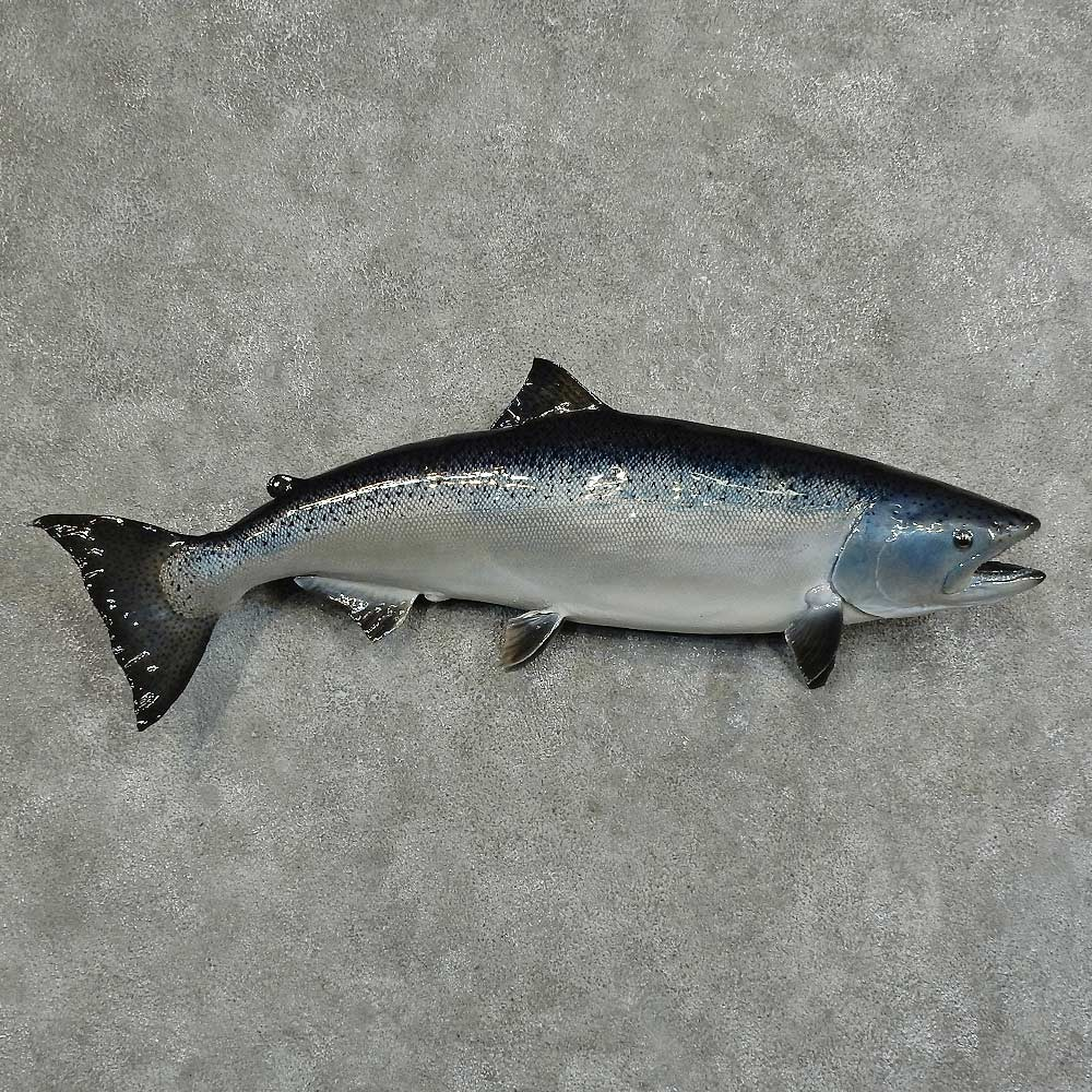 Silver salmon fish mount for sale 16064 the taxidermy store for Fishing for salmon