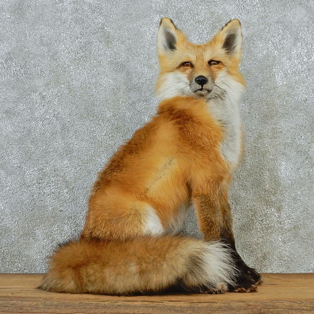 Fox Home Decor Red Fox Sitting Mount For Sale 12669 The Taxidermy Store Sunday Sanctuary