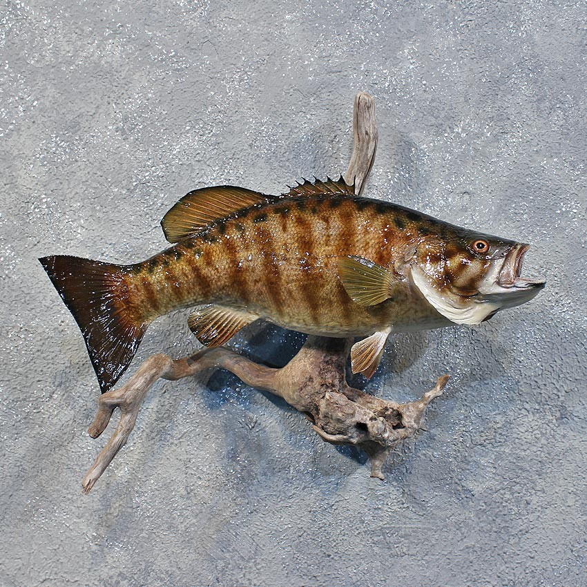 Smallmouth bass fish mount 12218 the taxidermy store for How to taxidermy a fish