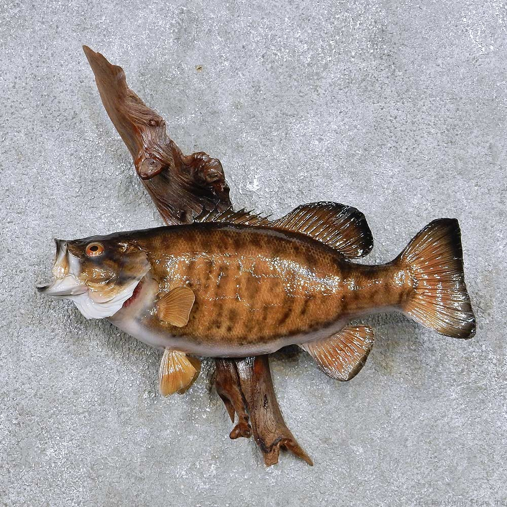 Smallmouth bass fish mount for sale 14351 the taxidermy for Bass fish for sale