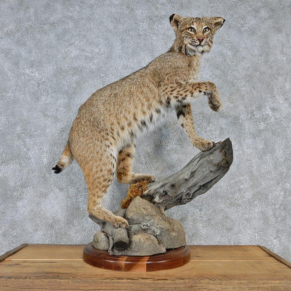 Images Of Bobcat Mounts