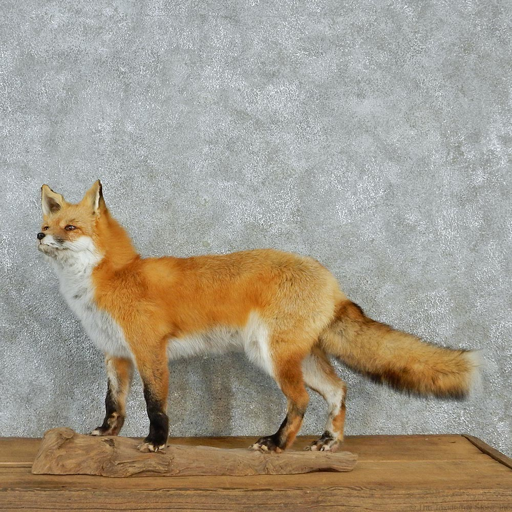Red Fox Standing Mount 12951 The Taxidermy Store