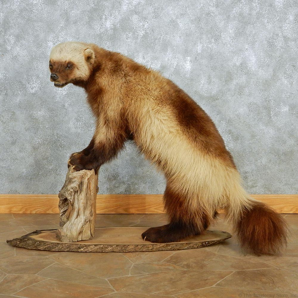 Alaskan Wolverine Standing Mount 13082 The Taxidermy Store