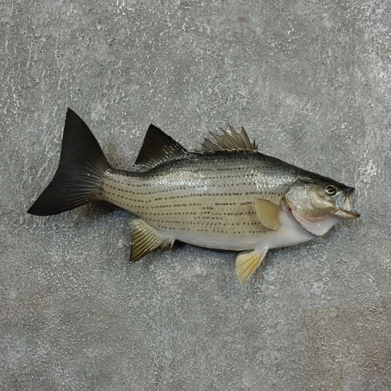 Striped bass fish mount for sale 17788 the taxidermy store for Fish mounts for sale
