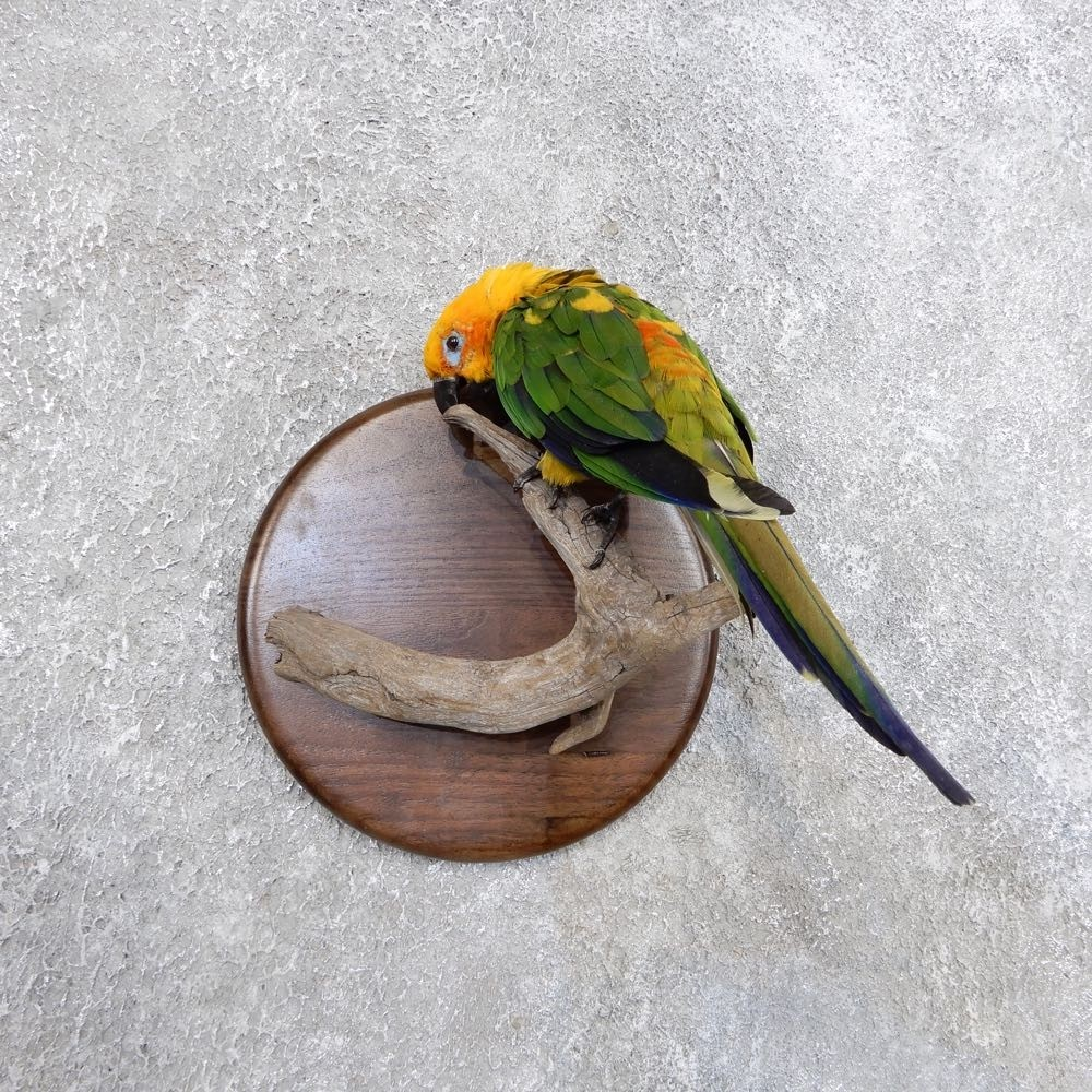 Sun Conure Bird Mount For Sale 18595 The Taxidermy Store
