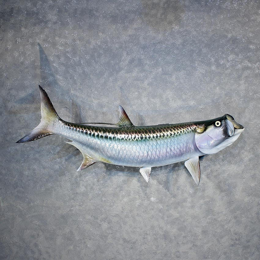Atlantic tarpon fish mount for sale 11897 the taxidermy for Fish mounts for sale