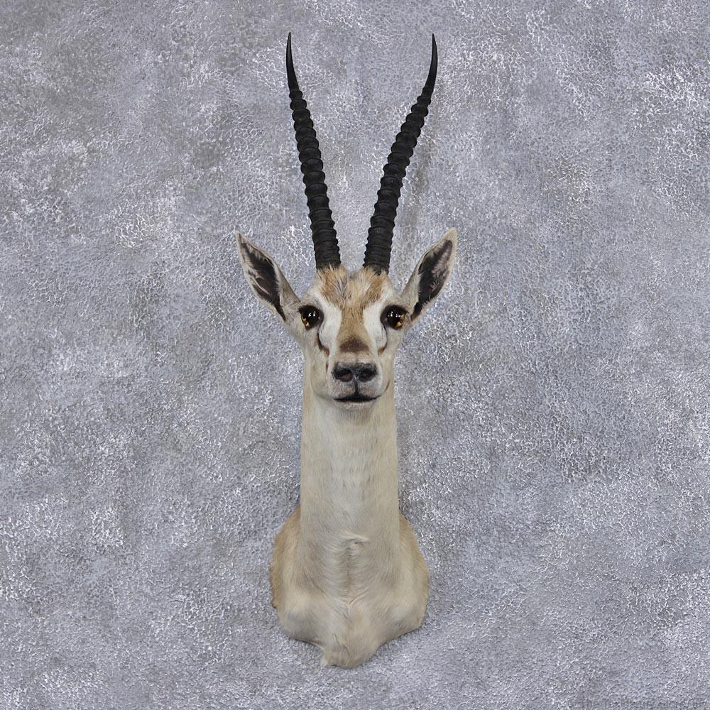 Gazelle head