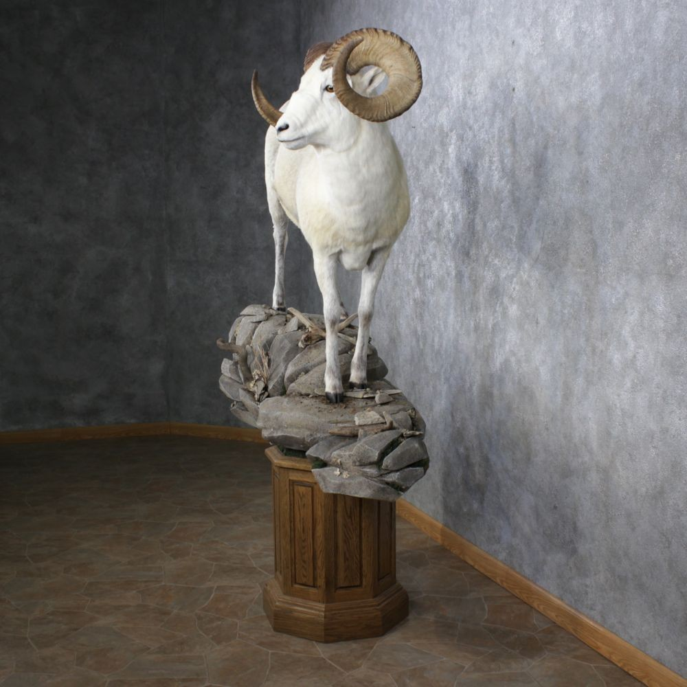 Antlers For Sale >> Fannin Sheep Mount For Sale #12508 - The Taxidermy Store