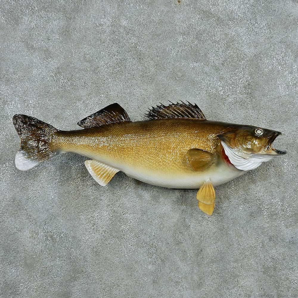Walleye taxidermy fish mount 13508 the taxidermy store for Wall eye fish