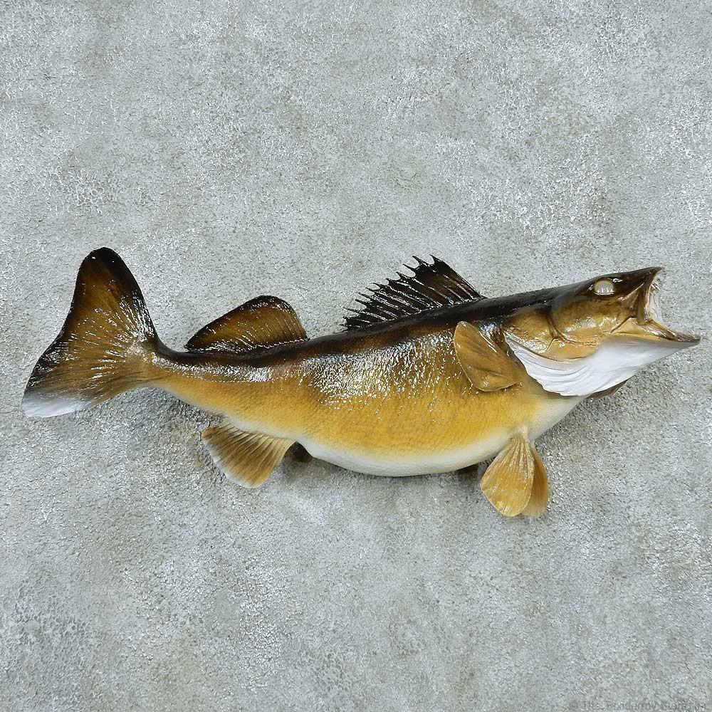 Walleye taxidermy fish mount 13509 the taxidermy store for Wall eye fish