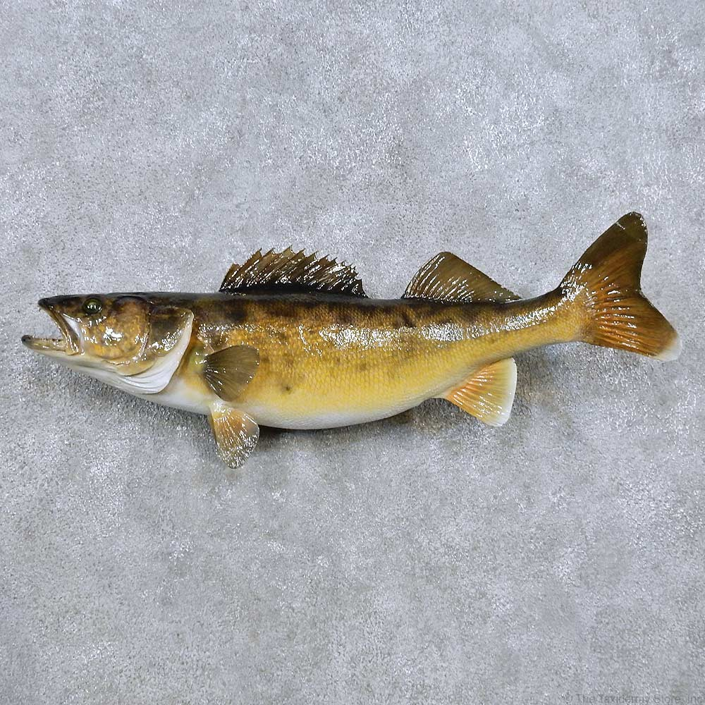 Walleye taxidermy fish mount for sale 14481 the for Fish mounts for sale