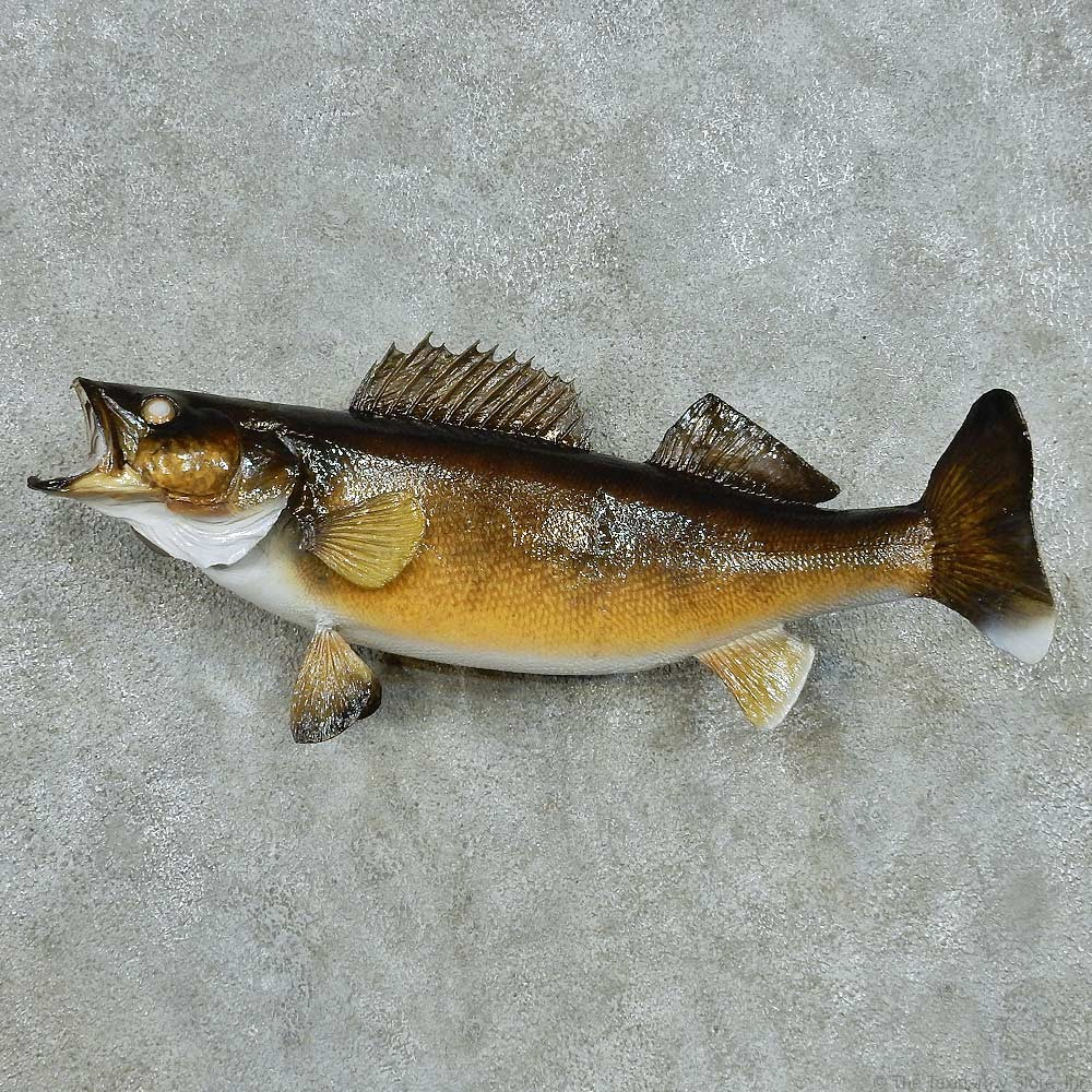 Walleye taxidermy fish mount 13553 the taxidermy store for Fish mounts for sale