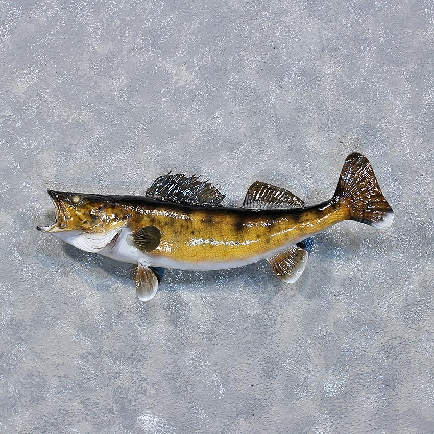 Walleye pike fish mount 10336 the taxidermy store for Wall eye fish