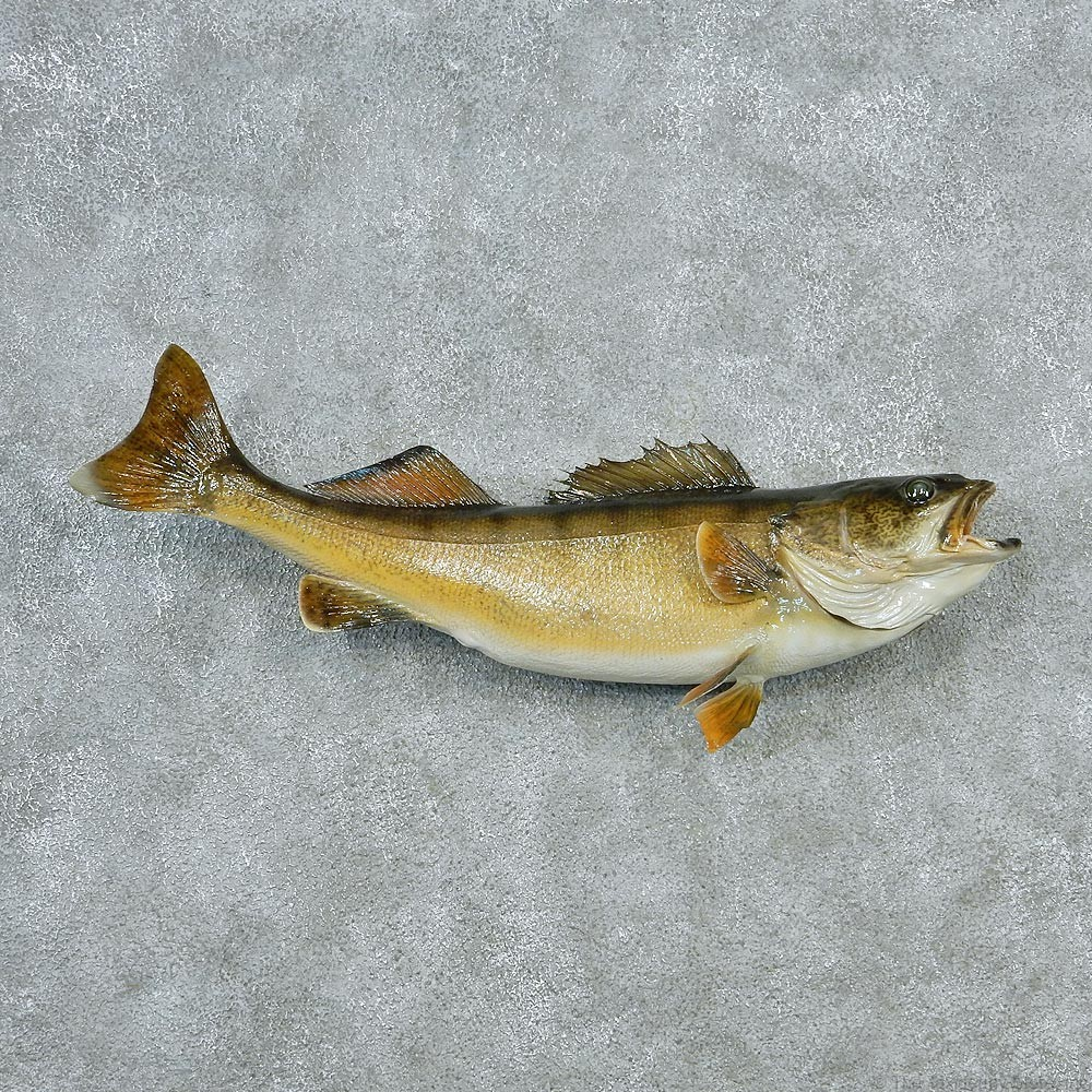 Walleye pike fish mount 12793 the taxidermy store for Wall eye fish