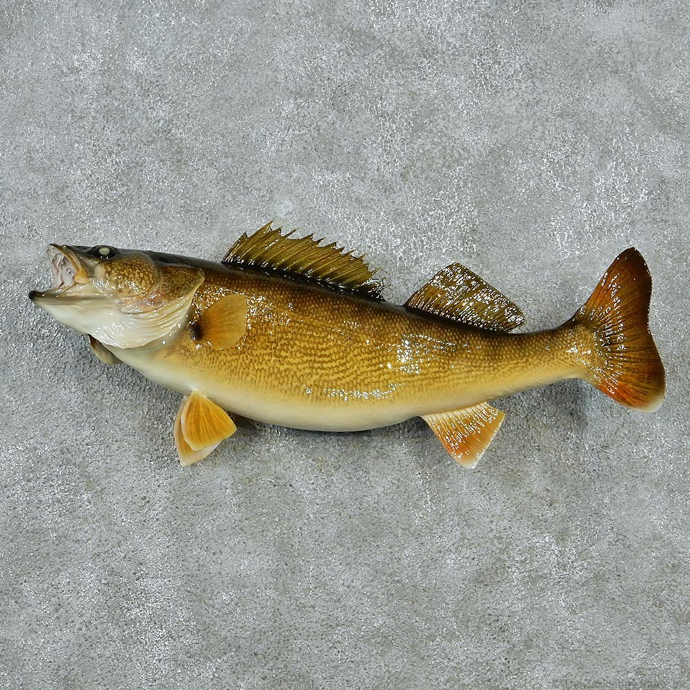 Walleye pike fish mount 12825 the taxidermy store for Fish mounts for sale