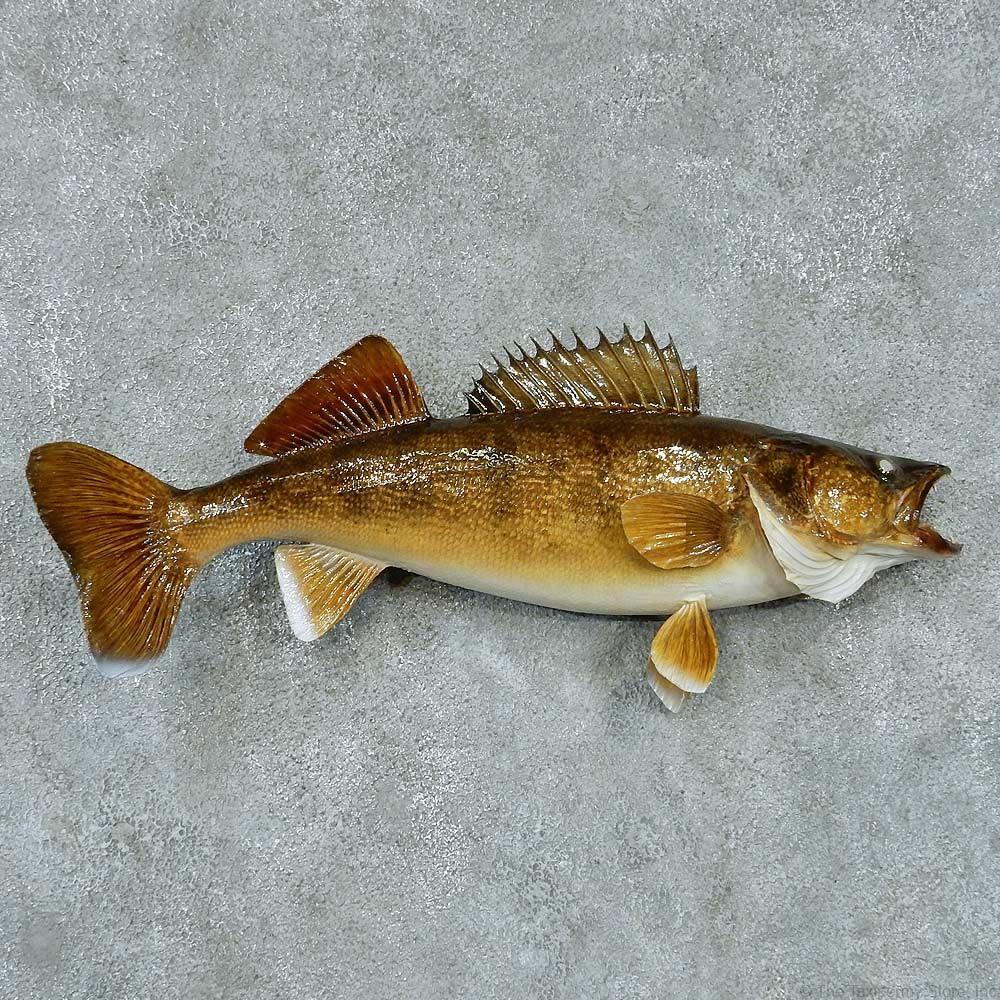 Walleye taxidermy fish mount 13406 the taxidermy store for Wall eye fish
