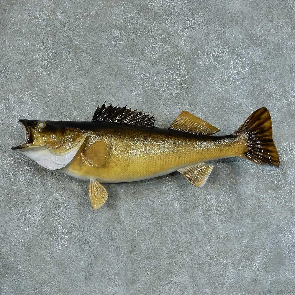 Walleye taxidermy fish mount 13408 the taxidermy store for Wall eye fish