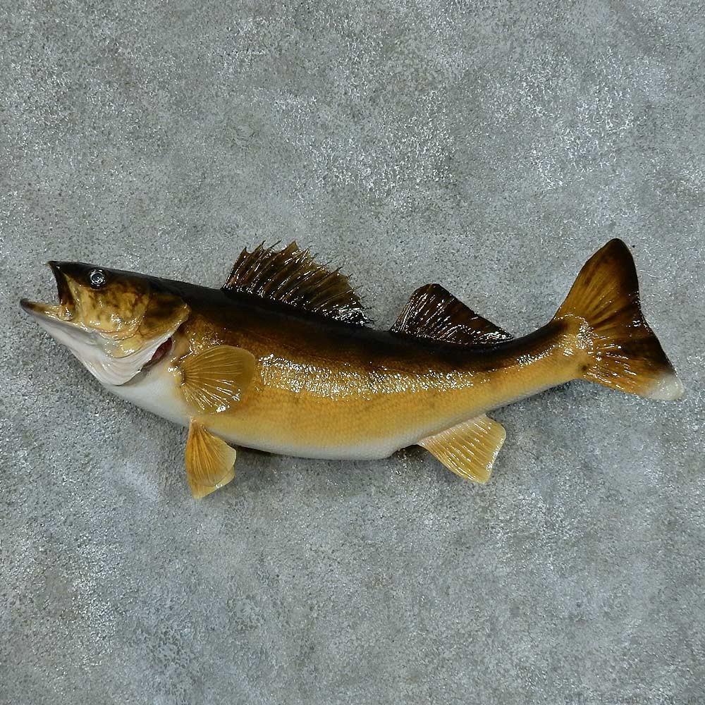 Walleye taxidermy fish mount 13410 the taxidermy store for Wall eye fish