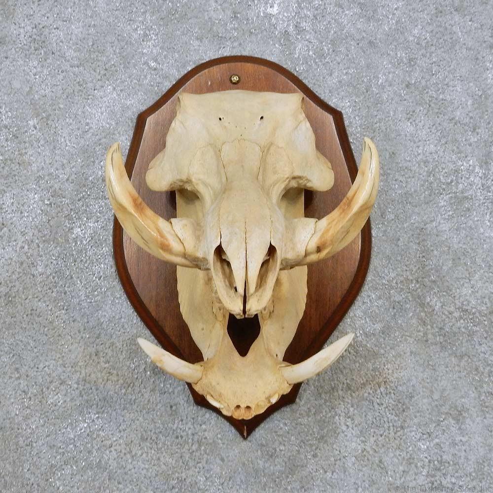warthog skull amp tusk european mount for sale 14542 the