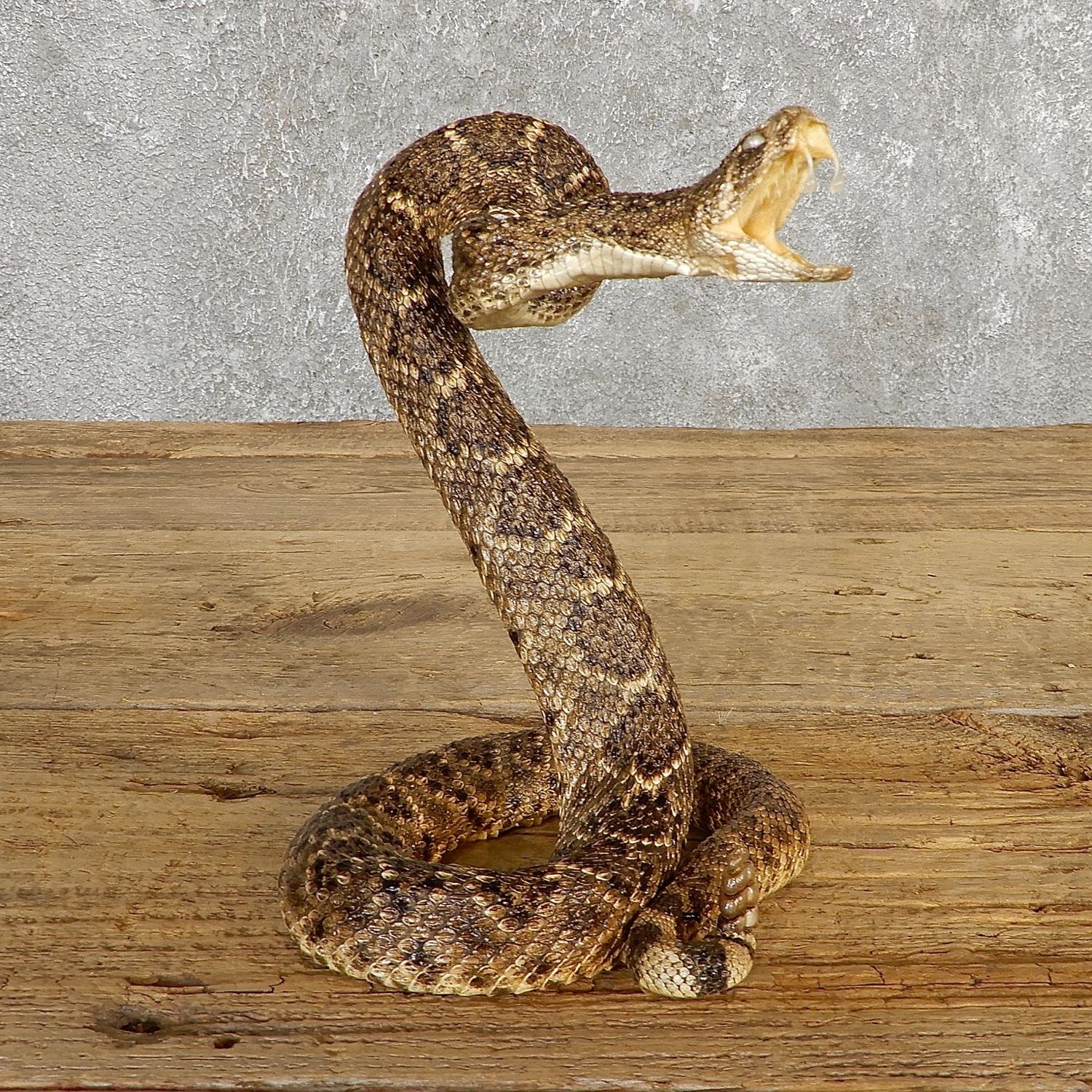 Western Diamondback Rattlesnake Mount For Sale #19982 - The