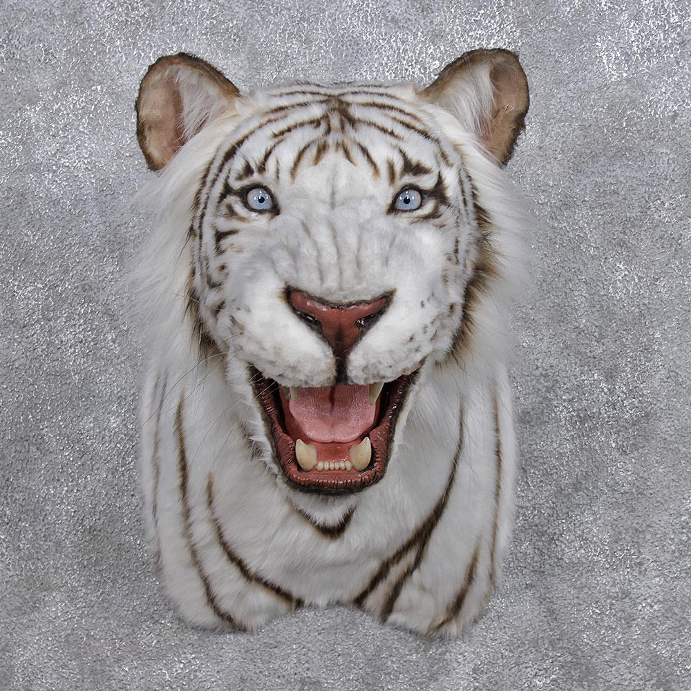 Reproduction Tiger Shoulder Mount 12281 The Taxidermy Store