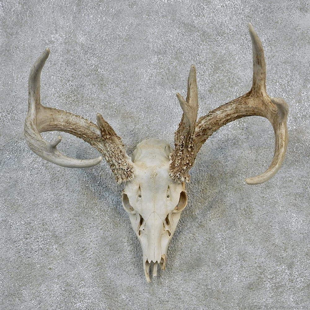 Whitetail deer european antler skull taxidermy mount 12620 for sale
