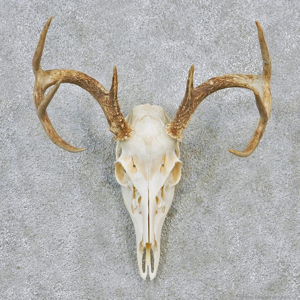 Whitetail deer european antler skull taxidermy mount 12628 for sale