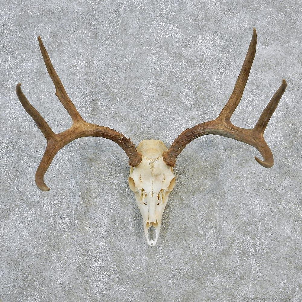 Whitetail deer european antler skull taxidermy mount 12630 for sale