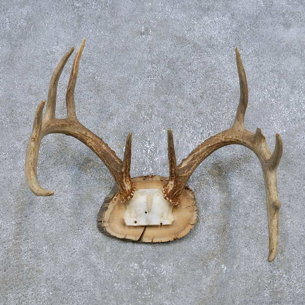 how to clean deer antlers for mounting