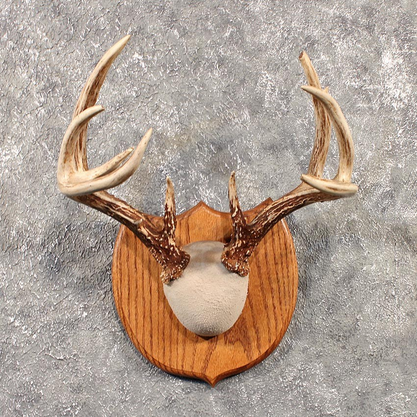 Whitetail Deer Antler Plaque #11527 - The Taxidermy Store