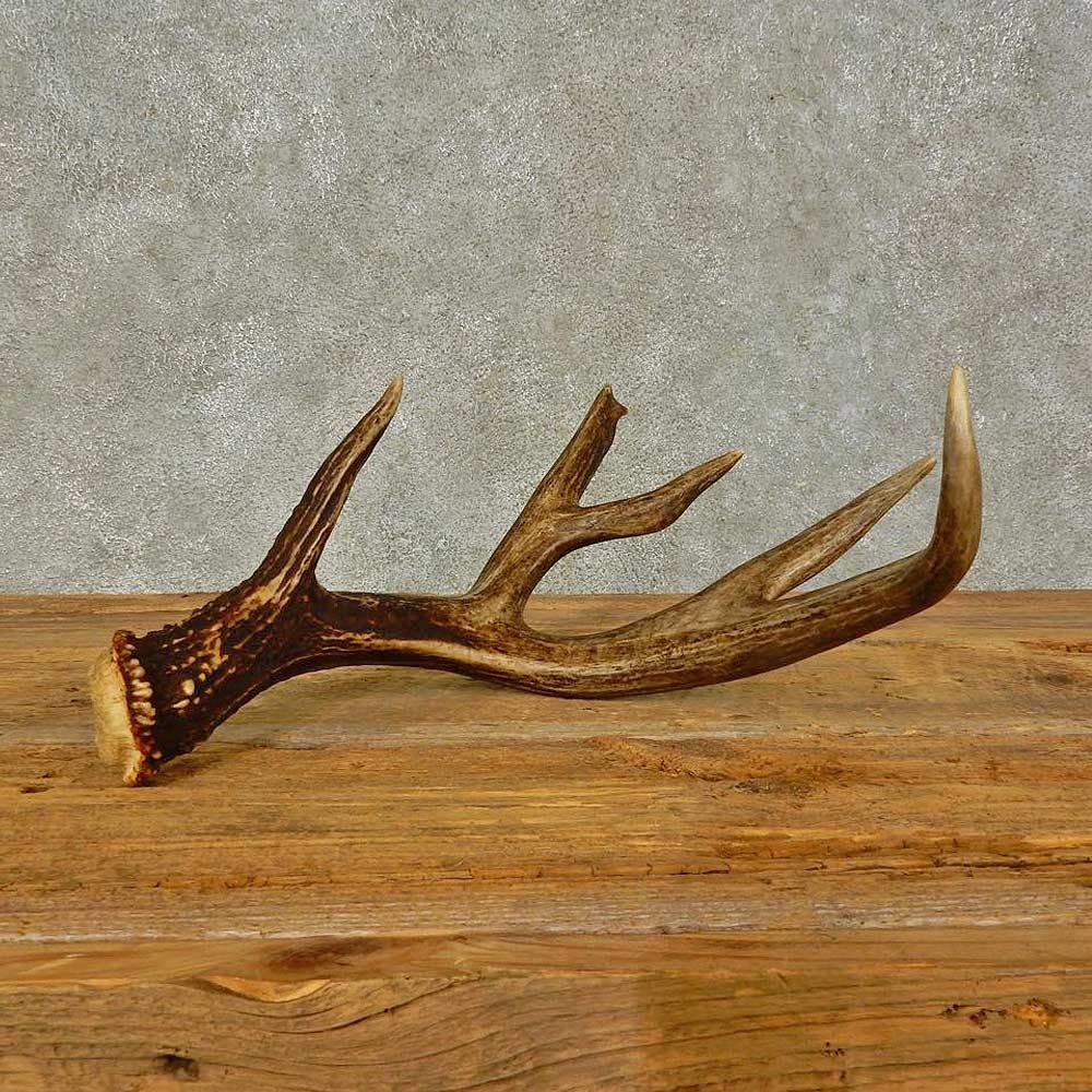 Antlers For Sale >> Whitetail Deer Antler Shed Craft For Sale