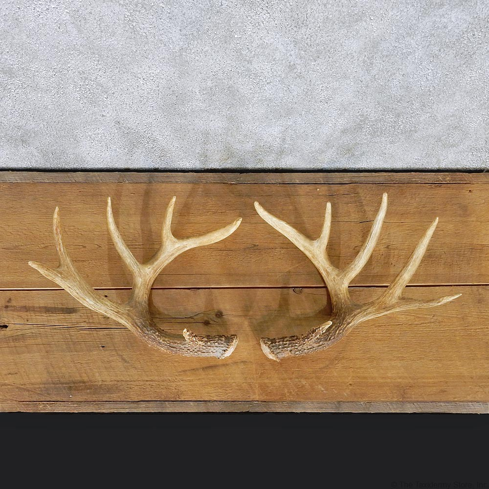 Whitetail Deer Antlers For Sale #11081 - The Taxidermy Store