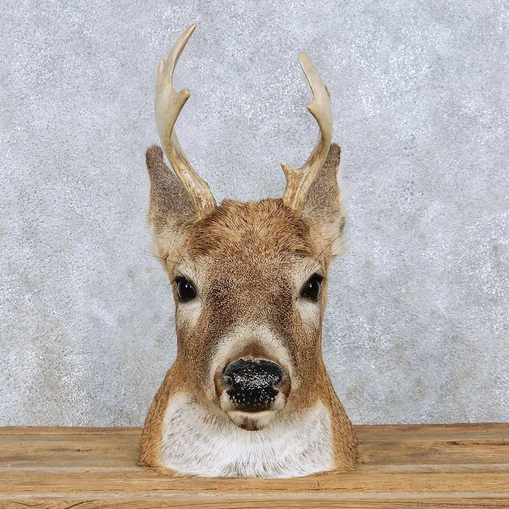 Whitetail Deer Head Mount For Sale #13960
