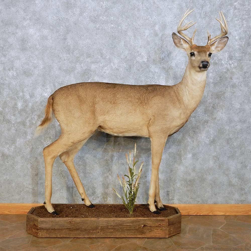 white tailed deer size - Mersn.proforum.co