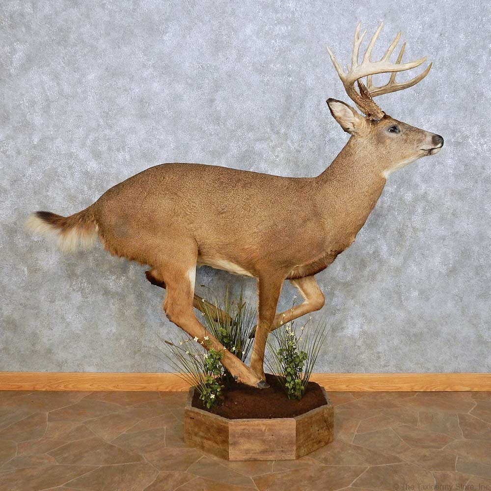Whitetail Deer Life Size Mount For Sale 14062 The
