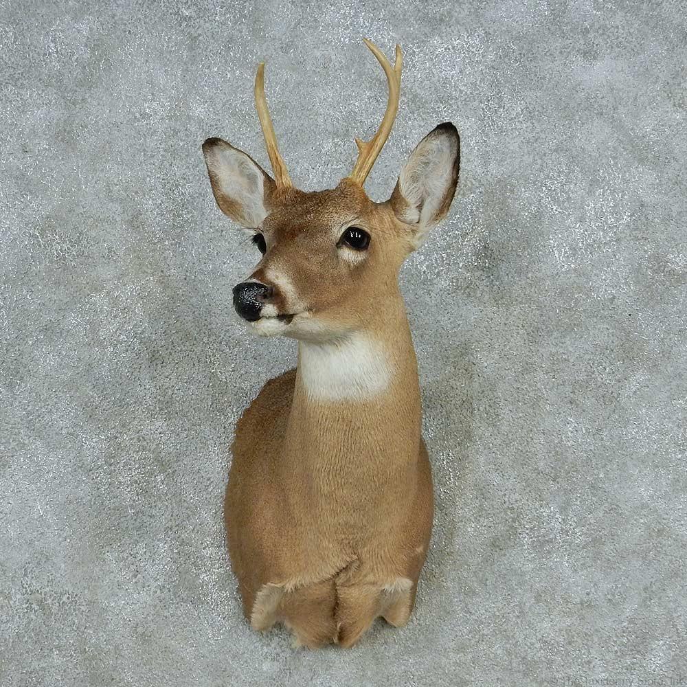 Whitetail Deer Shoulder Mount For Sale 13641 The