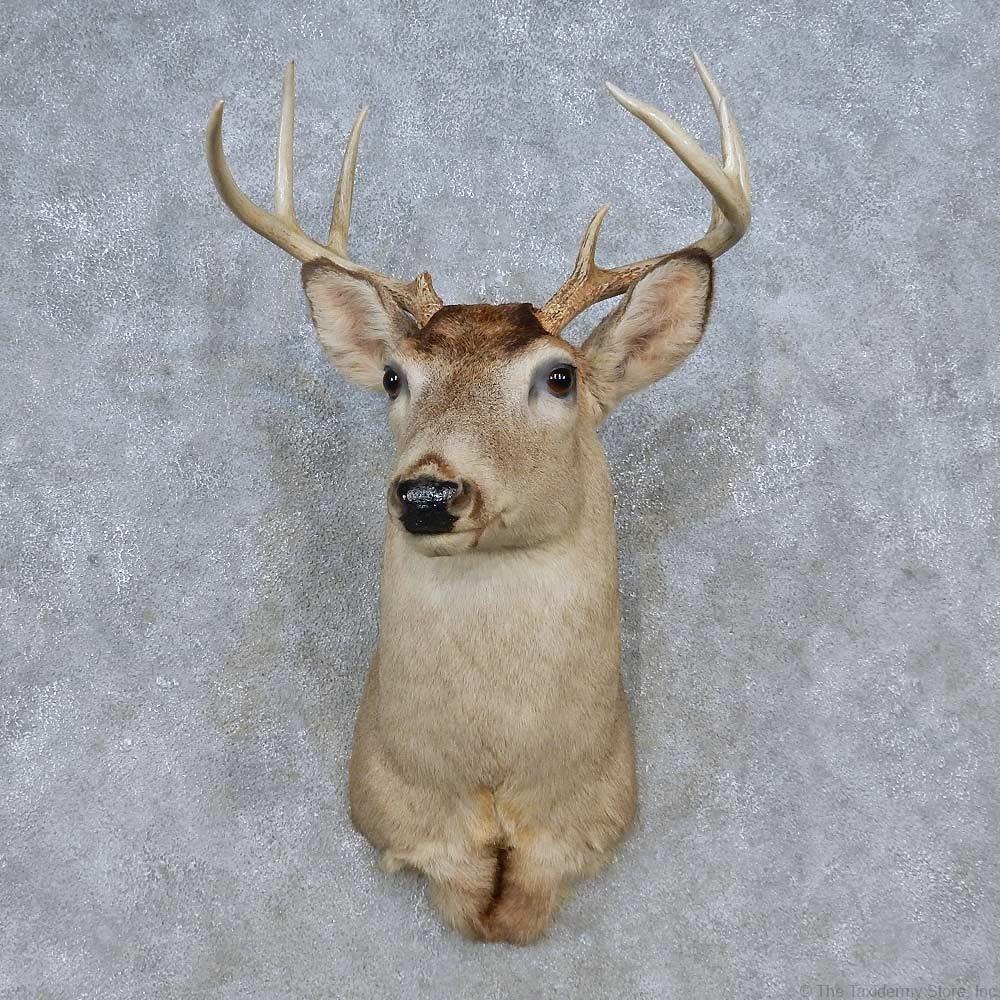 Whitetail Deer Shoulder Mount For Sale 14798 The