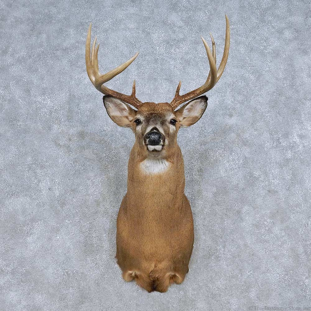 Whitetail Deer Shoulder Mount For Sale 14809 The