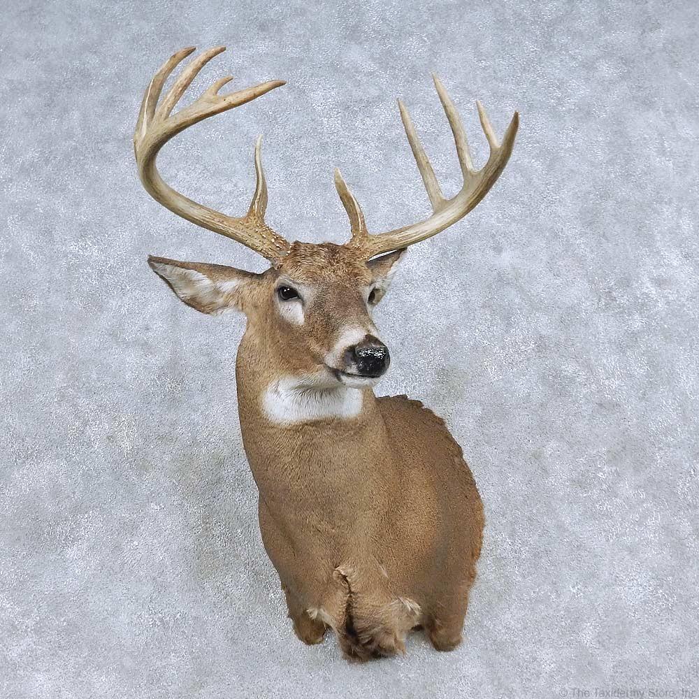 Whitetail Deer Shoulder Mount For Sale 14844 The