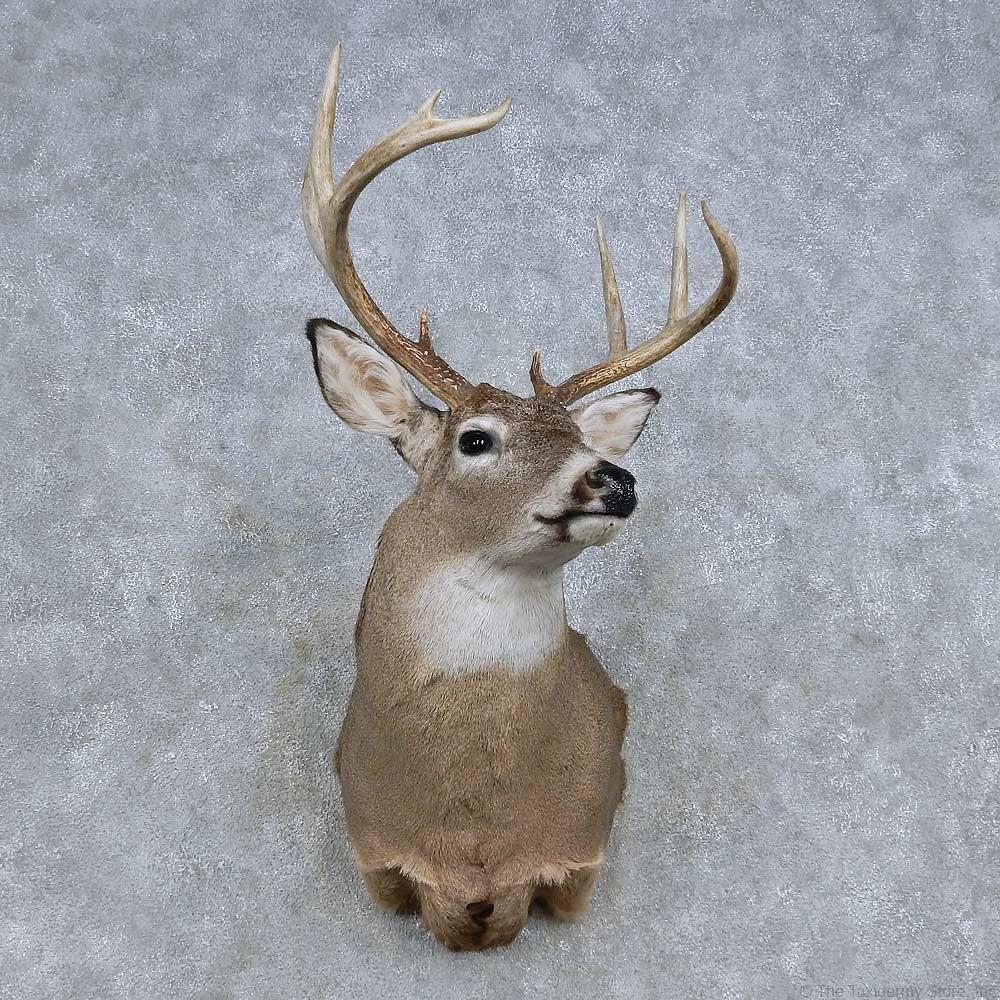 Whitetail Deer Shoulder Mount For Sale 14846 The