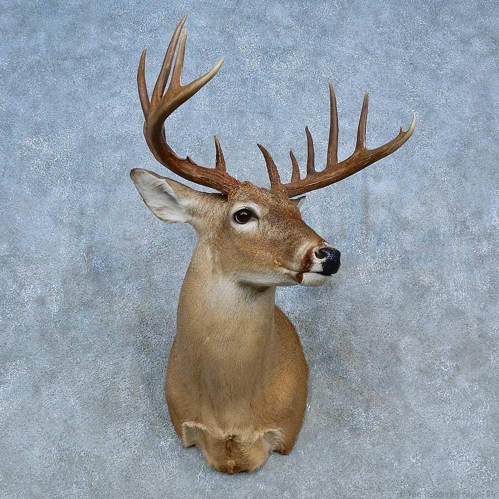 Whitetail Deer Shoulder Mount For Sale 15466 The