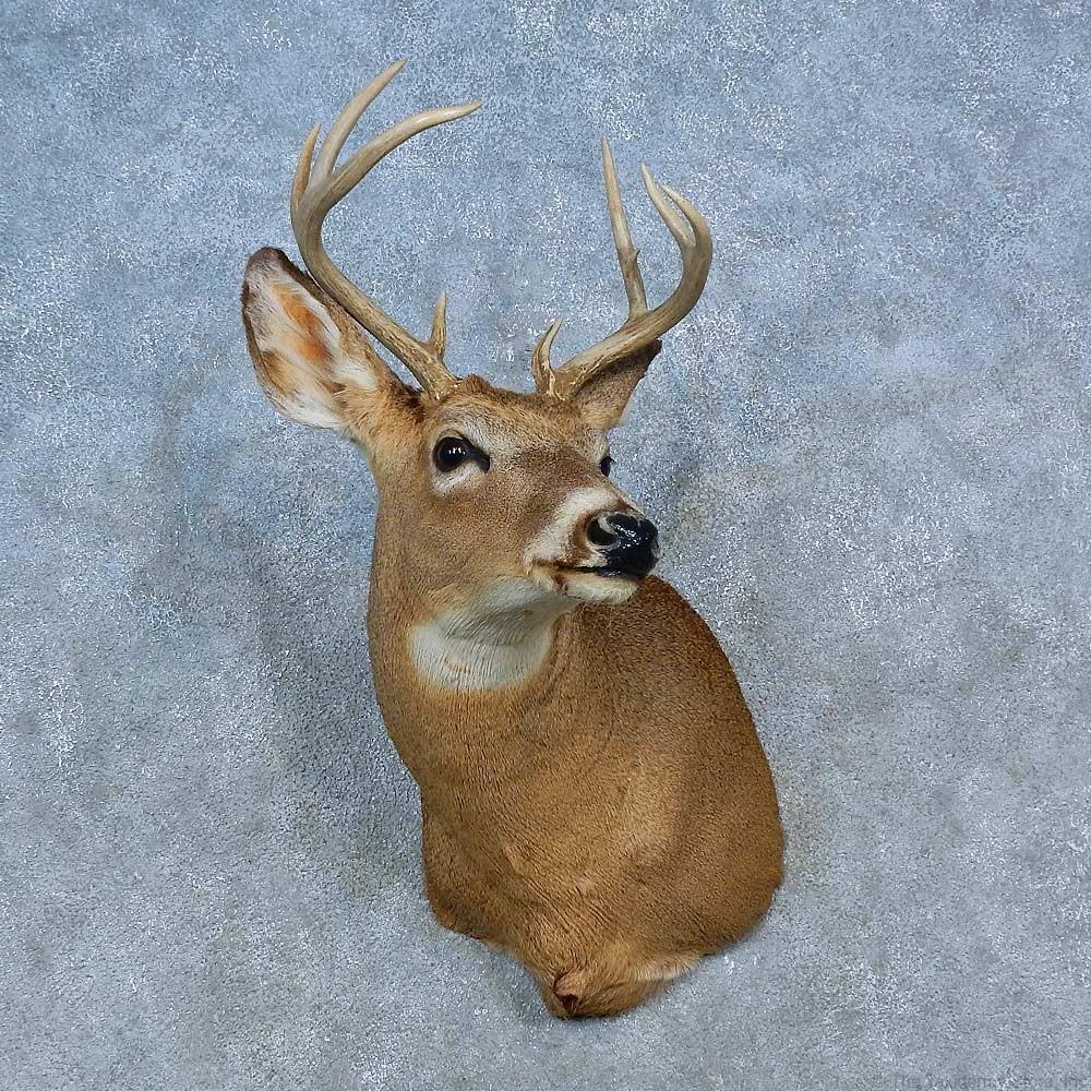 Whitetail Deer Shoulder Mount For Sale 15473 The