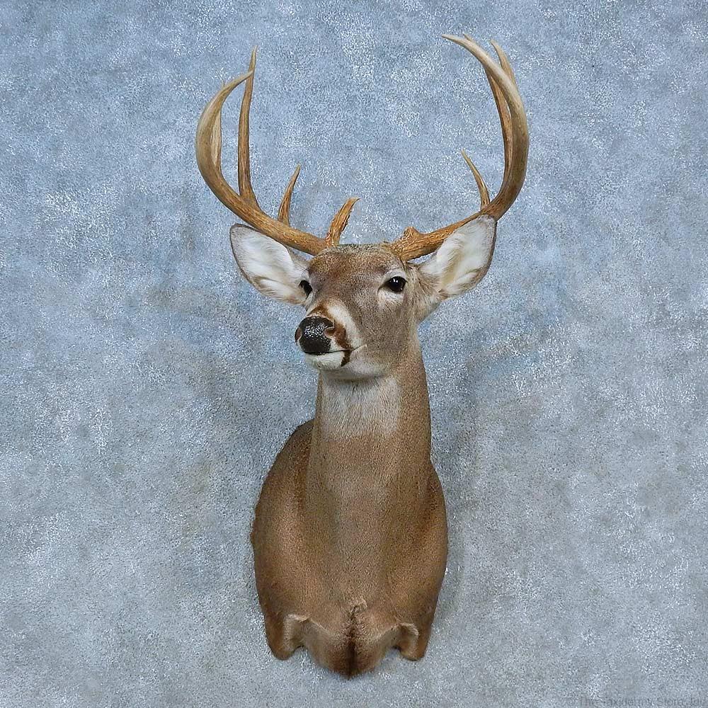 Whitetail Deer Shoulder Mount For Sale 15475 The