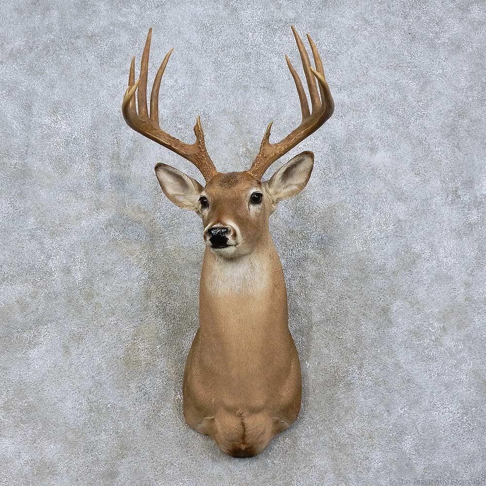 Whitetail Deer Shoulder Mount For Sale 15835 The